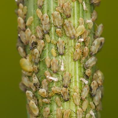Bladluis bestrijden plant