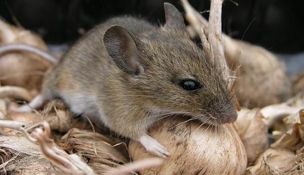 Muizen bestrijden of knabbelend diertje in huis laten?