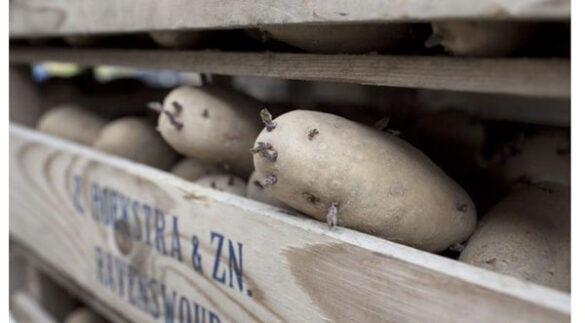 Aardappels zonder gentech