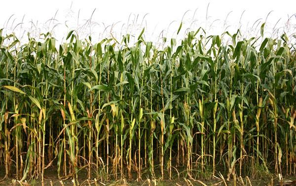 Genetisch gemodificeerd gm voedsel
