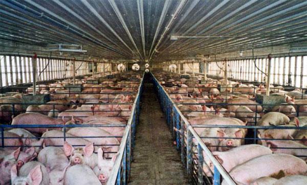 varkens in een fokkerij