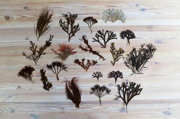 Verschillende soorten zeegras te gebruiken voor meubilair