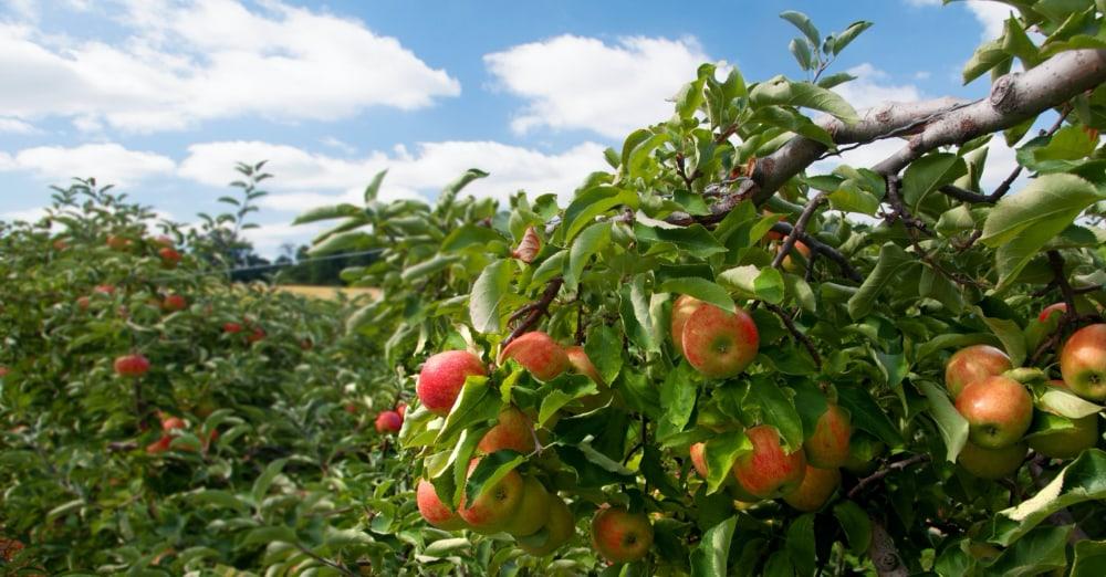 Hoe verwijder je gif van een appel?